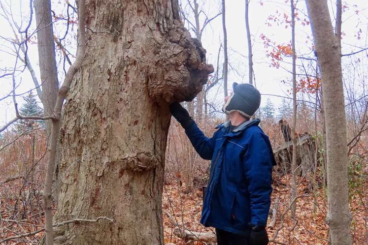 Trees can host multiple burls and still lead long, robust lives. Photo by Don Scallen.