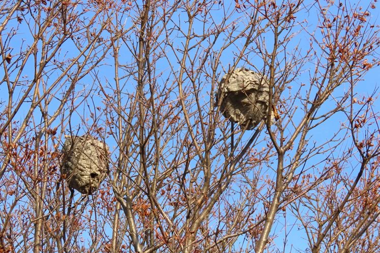 Bald faced hornet nests. Photo by Don Scallen.