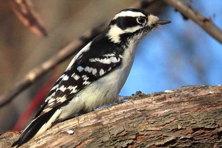 Downy woodpecker. Photo by Don Scallen.