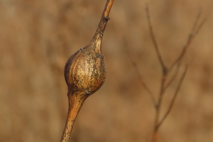 Goldenrod gall. Photo by Don Scallen.