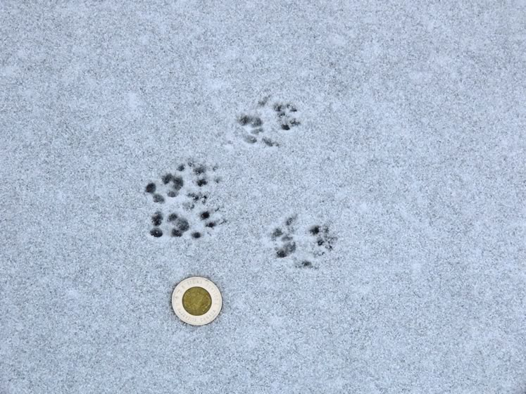 Black or gray squirrel tracks. Photo by Don Scallen.
