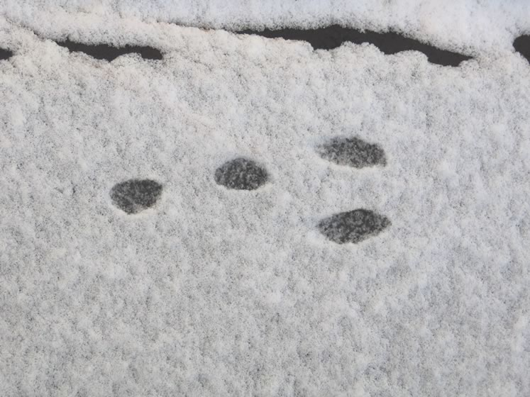Cottontail rabbit tracks. Photo by Don Scallen.
