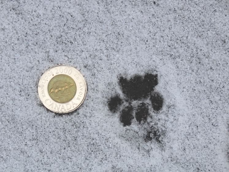 House cat tracks. Photo by Don Scallen.