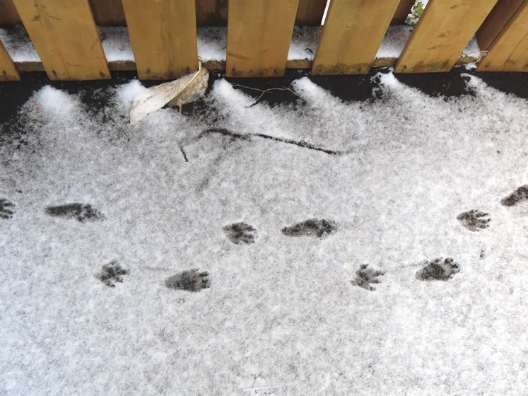 Racoon tracks. Photo by Don Scallen.