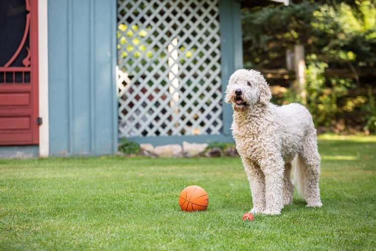 Hank, the family's goldendoodle, stands watch. Photo by Erin Fitzgibbon.