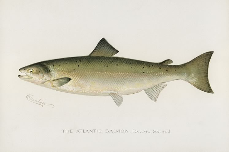 Formerly abundant in local waterways, Atlantic salmon were lost to overfishing. A concerted program called Bring Back the Salmon is attempting to restore them. Salmon Illustrated By S.F.Denton : Rawpixel CC By 4.0.