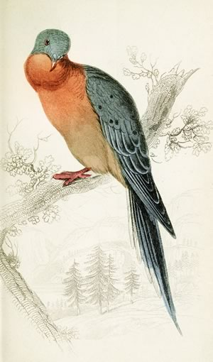 "Flocks of passenger pigeons, now extinct, once formed ""biological storms"" in the skies above our hills. Illustration by W.H.Lizars : Biodiversity Heritage Library CC BY-NC-SA 2.0."