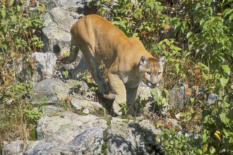 Cougars once prowled in Headwaters, but despite occasional unverified sightings, there is no indication they have returned. Photo by Robert McCaw.