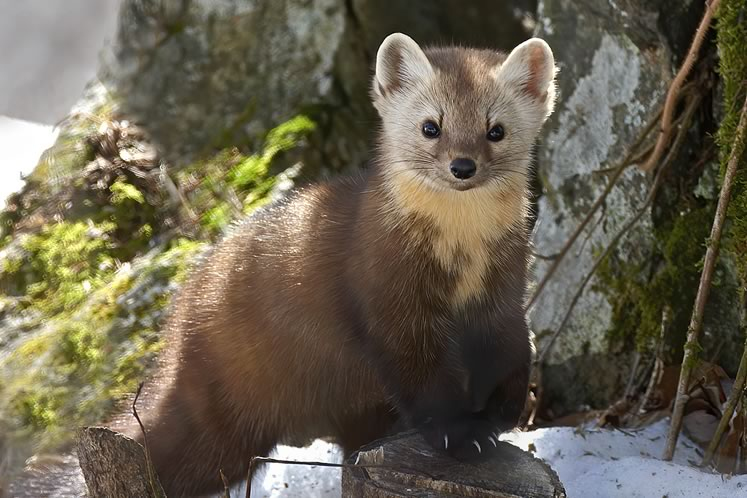 Martens were among the many animals that evacuated the region with the demise of their old-growth-forest habitat. Photo by Robert McCaw.