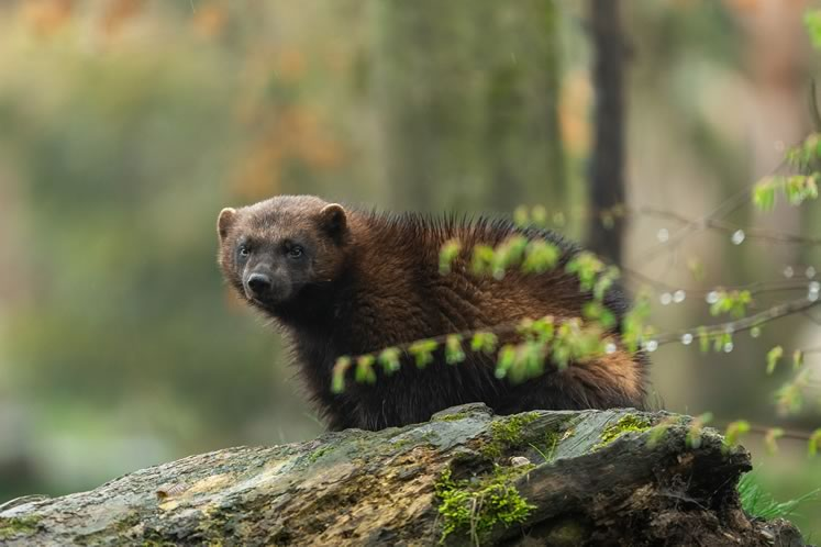 Long gone from Headwaters, wolverines were last recorded in southern Ontario in neighbouring Grey County in 1889. iStockphoto 1142788643.