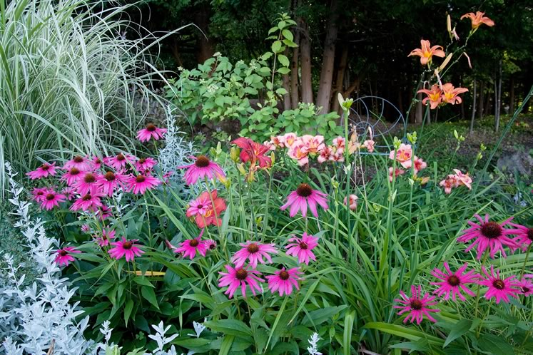 Mauve-pink echinacea and a variety of hot pink and orange lilies combine with the soft grey-green of artemisia and maiden grass to make an enchanting July palette. Photo by Rosemary Hasner / Black Dog Creative Arts.