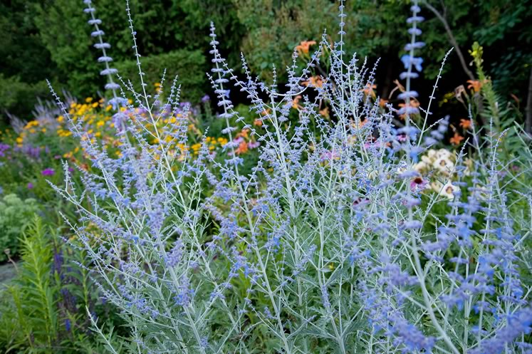 Pale blue Russian sage provides airy height and a soothing note next to the hot hues of midsummer lilies and rudbeckia. Photo by Rosemary Hasner / Black Dog Creative Arts.