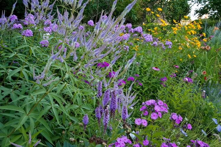 Spiky Veronica, fuzzy liatris and cheerful phlox provide a symphony of blue against golden rudbeckia as July turns to August. Photo by Rosemary Hasner / Black Dog Creative Arts.