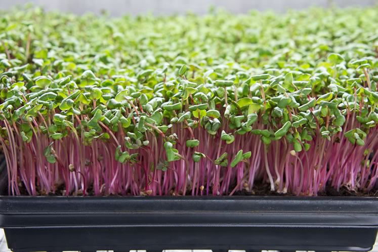 Microgreens at Farmstead Fresh, radish. Photo by Pete Paterson.