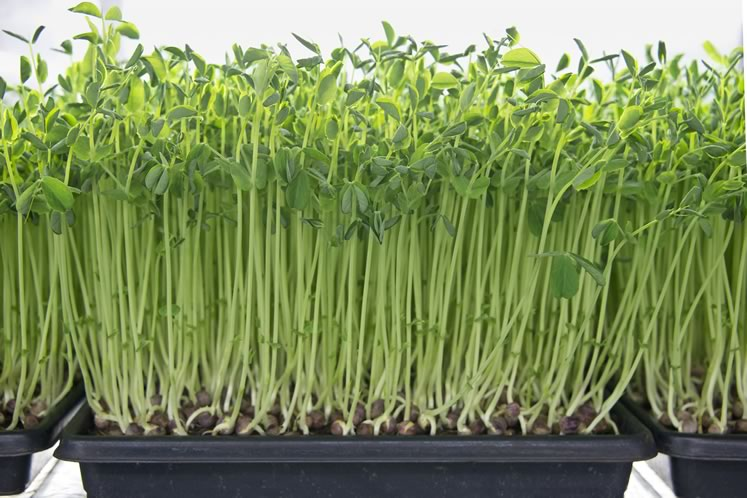 Microgreens at Farmstead Fresh, pea shoot. Photo by Pete Paterson.