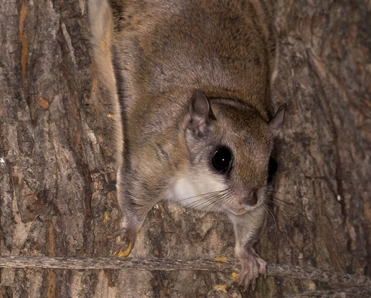 Southern flying squirrel. Photo by Fiona Reid.