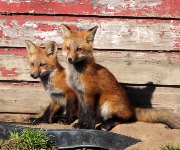 Red fox kits by their den entrance under an old garage. Photo by Don Scallen.