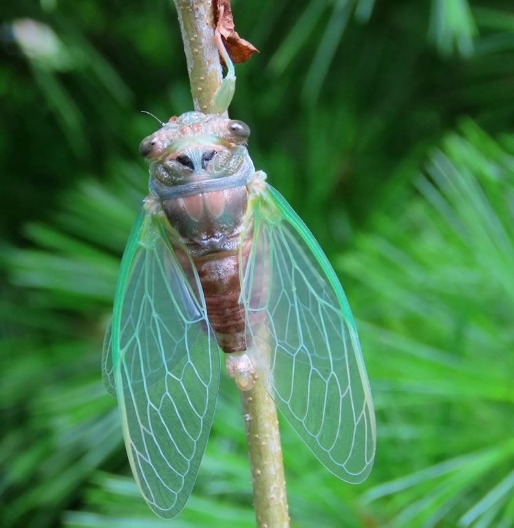 Cicada. Photo by Don Scallen.