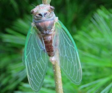Cicada. Photo by Don Scallen.