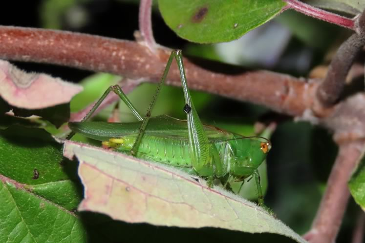 Common or gladiator meadow katydid. Photo by Don Scallen.