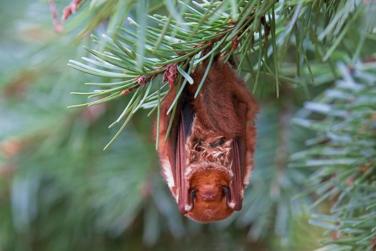 More cuddly than creepy, red bats have pixie-like faces and upturned noses. Photo by Shutterstock.
