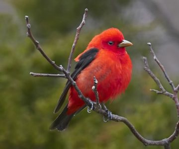 The brilliantly plumed scarlet tanager is the only one of hundreds of tanager species that breeds in Headwaters before heading to the tropics for the winter. Photo by Robert McCaw.