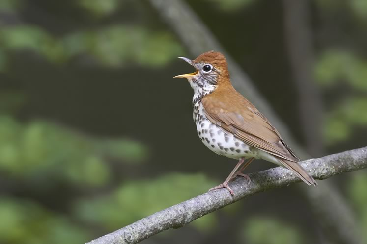 "The population of wood thrushes, along with their melodic songs, has declined in the Credit River watershed by 36 per cent since 2002. They are now deemed of ""special concern"" in Ontario. Photo by Robert McCaw."