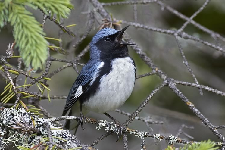 The pretty black-throated blue warbler has a reason to sing. It belongs to a species whose numbers have increased here in recent years. Photo by Robert McCaw.