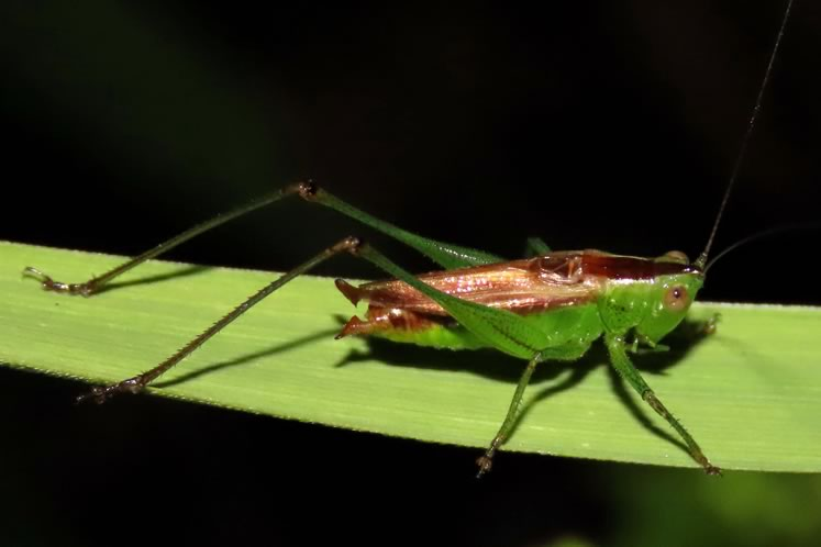 Short winged meadow katydid. Photo by Don Scallen.