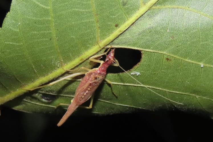 Two spotted tree cricket and its singing hole. The male cricket cuts a hole in a leaf, hides underneath and broadcasts its call through the hole. Photo by Don Scallen.