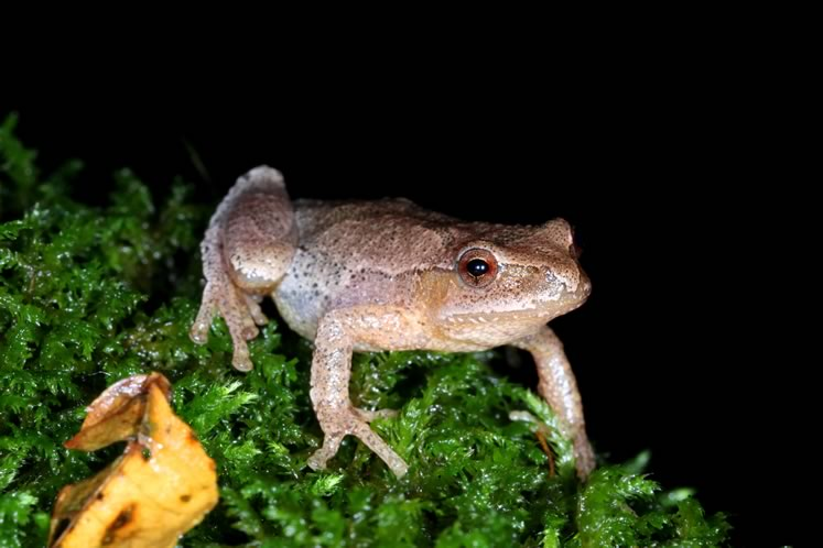 Spring peeper. Photo by Don Scallen.