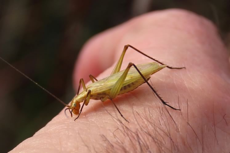 Black-horned tree cricket on hand. Photo by Don Scallen.