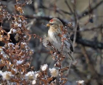 Redpoll feeding on aster seeds. Photo by Yves Scholten.
