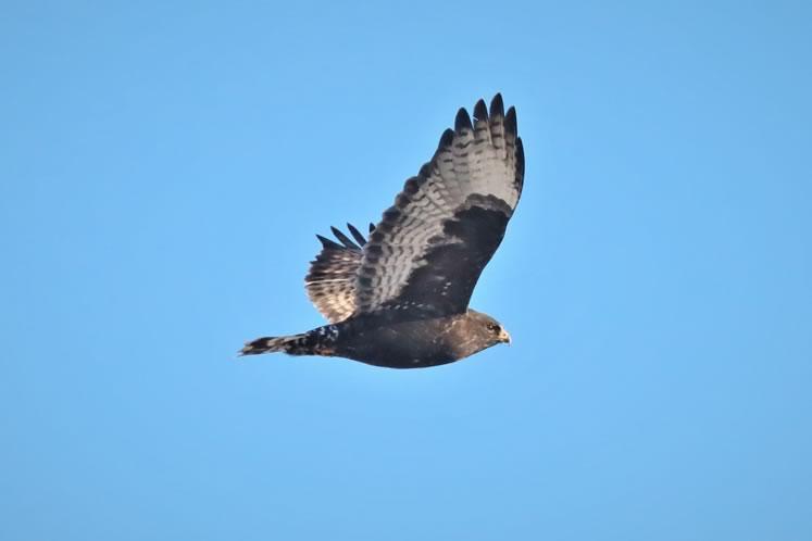 Rough-legged hawk, Wellington County. Photo by Yves Scholten.
