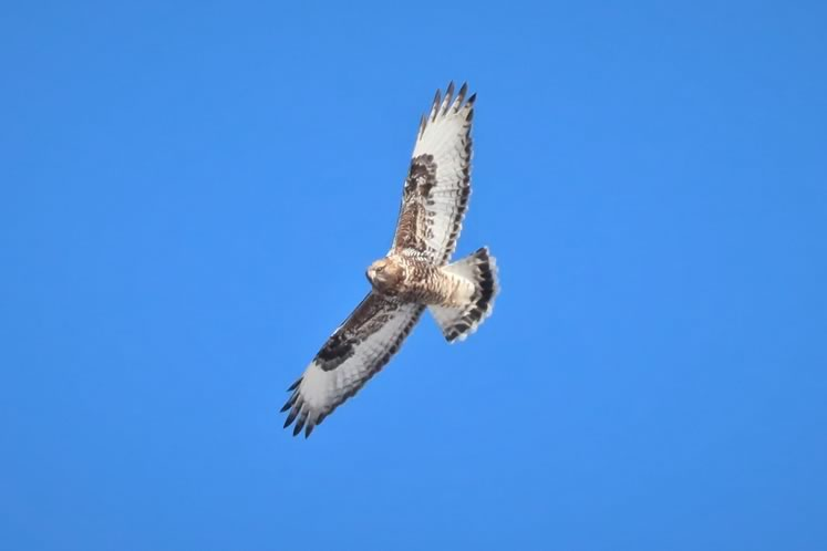 Rough-legged hawk, Luther Marsh. Photo by Yves Scholten.