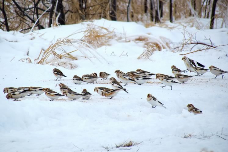Snow buntings, Amaranth, Dufferin County. Photo by Don Scallen.