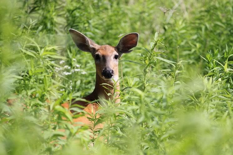 White-tailed deer. Photo courtesy CVC.