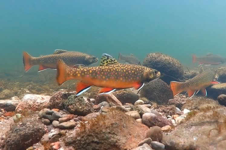 Brook trout in a Caledon stream. Photo by Don Scallen.