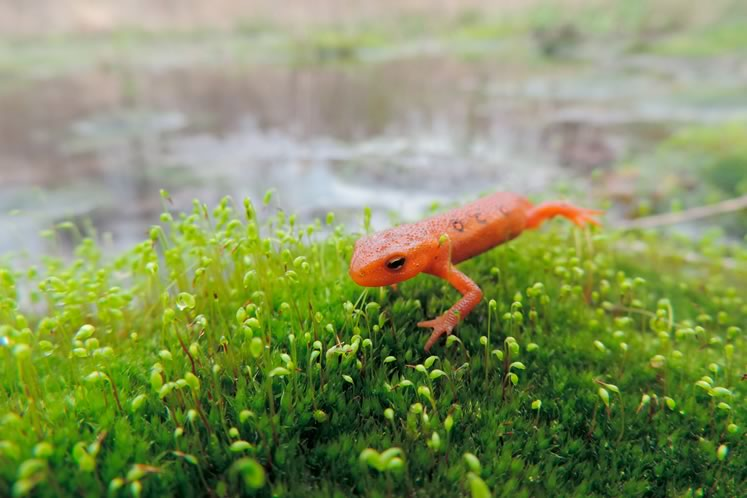 Red-spotted newt. Photo courtesy CVC.