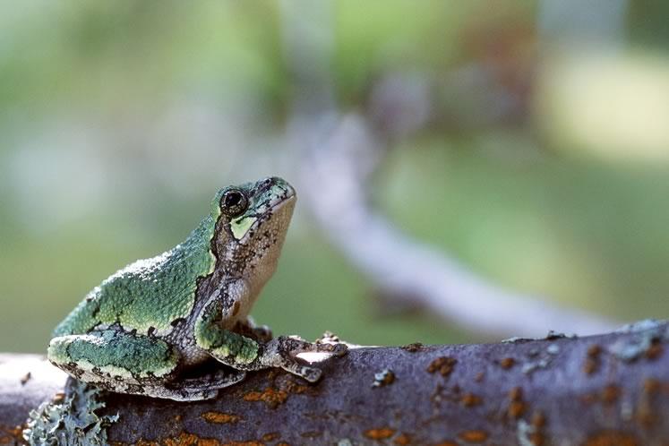 Grey tree frog. Photo by Rosemary Hasner / Black Dog Creative Arts.