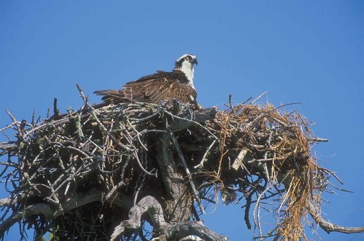 Osprey on nest. Photo by Robert McCaw.