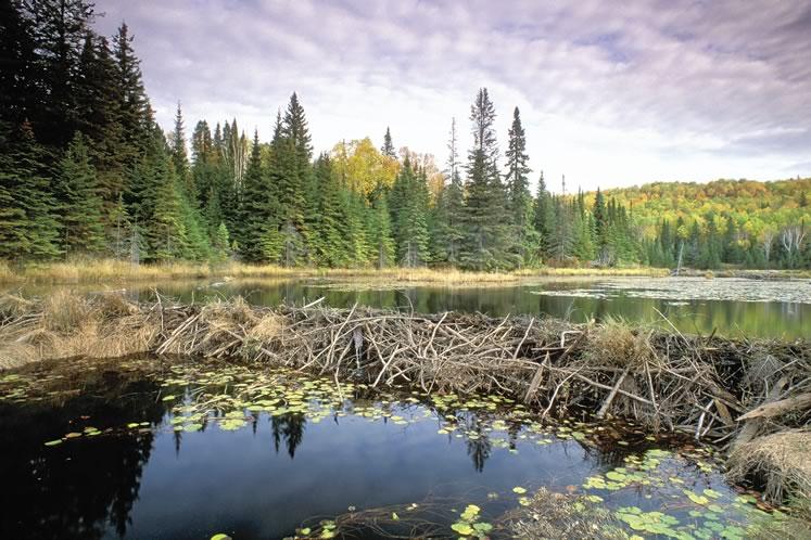 A beaver dam. Photo by Robert McCaw.