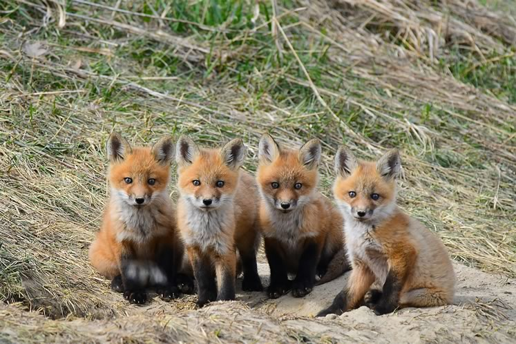 A quartet of curious youngsters in a Caledon neighbourhood. Photo by Critter Clicks Photography.