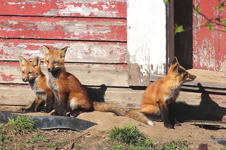 Three of a family of nine kits born under a Georgetown garage. Photo by Don Scallen.