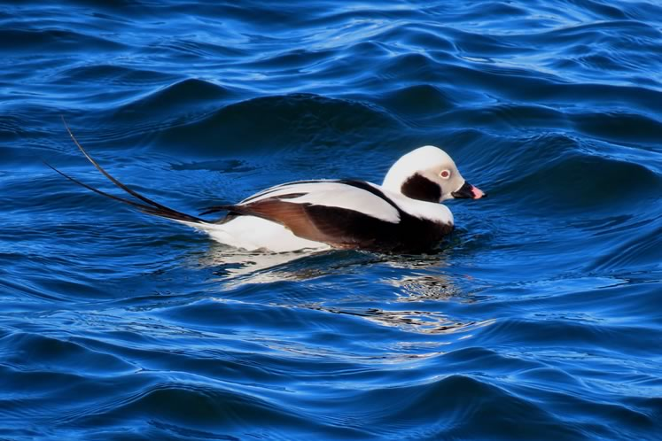 Long-tailed duck. Photo by Don Scallen.