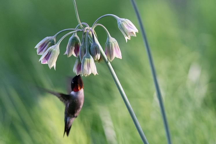Ruby-throated hummingbirds visit frequently in early summer to nectar on Sicilian honey garlic (Nectaroscordum siculum), a lesser known member of the onion family. Photo by Tony Spencer.