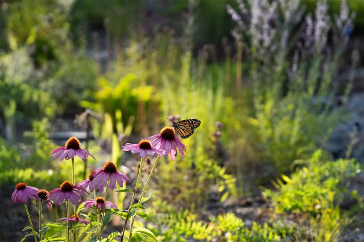 A monarch butterfly alights to nectar on one of the many coneflowers ('Prairie Splendor') seeding about the sand garden. Photo by Tony Spencer.