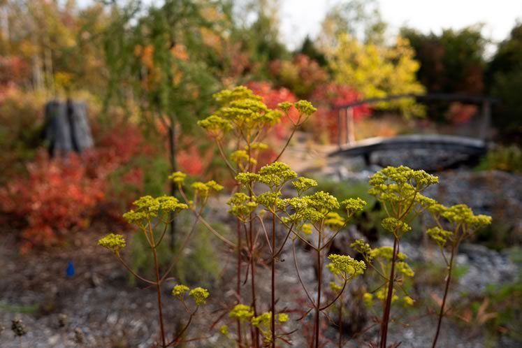 Fall colours set off the perennials: Dark red stems of golden valerian suffuse the warm orange glow of fragrant sumac (Rhus aromatica 'Gro-Low'). Photo by Tony Spencer.
