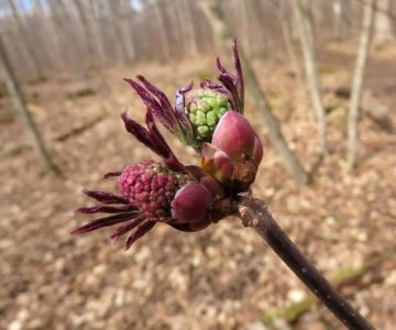 Red elderberry flower buds