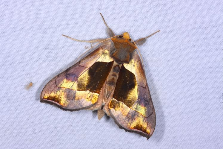 Hologram moth. Photo by Don Scallen.